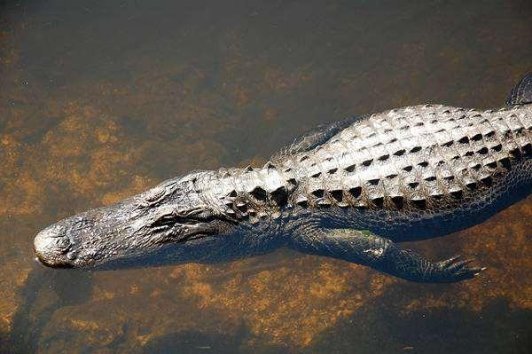 Миссисипский аллигатор (Alligator mississippiensis), фото новости о животных фотография рептилии