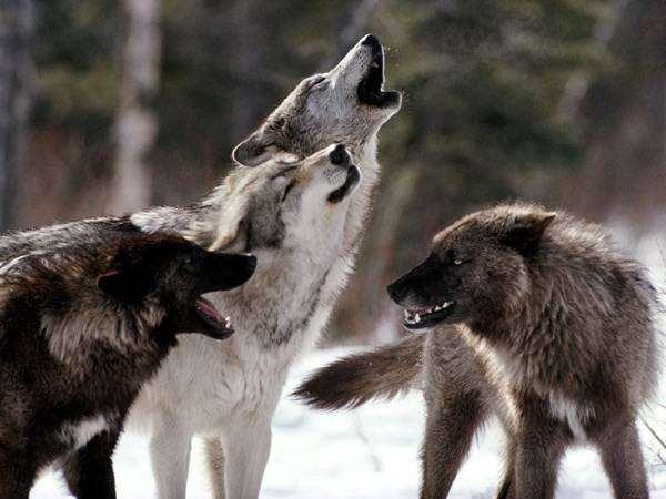Серый, или обыкновенный волк (Canis lupus), фото новости о животных фотография хищники