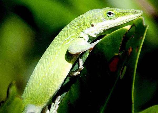 Каролинский анолис (Anolis carolinensis), фото новости про животных фотография рептилии