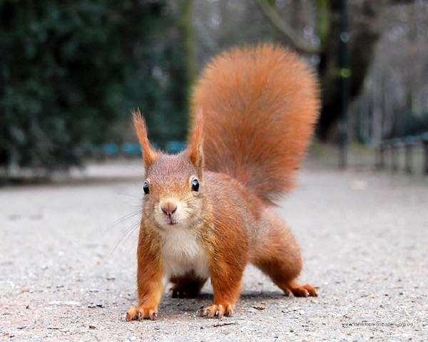 Обыкновенная, или рыжая белка (Sciurus vulgaris), фото новости о животных фотография грызуны