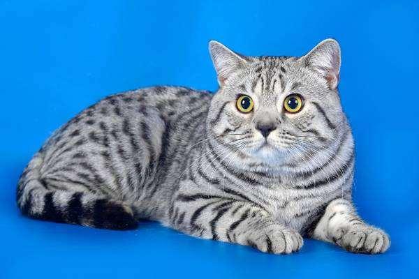 Сибирская кошкаФотографии породы кошек Сибирская кошка