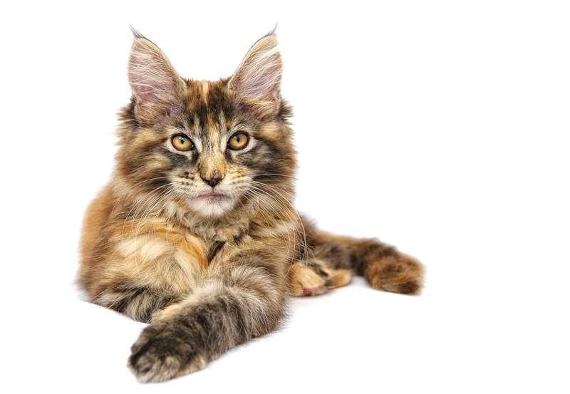 Мейн кун, фото фотография породы кошек