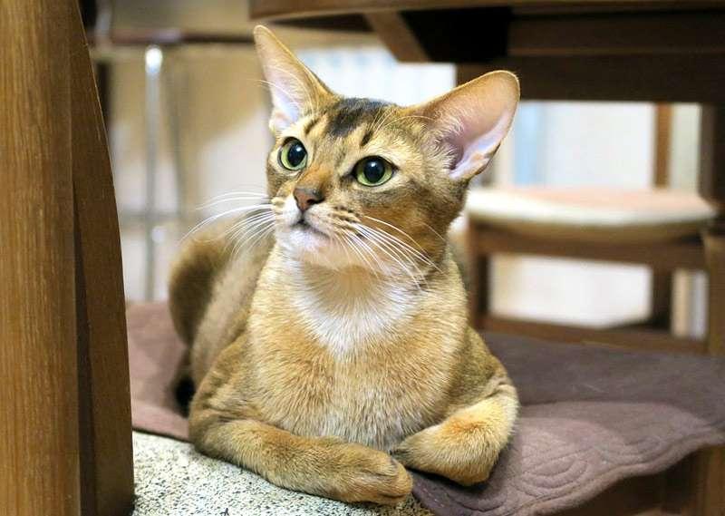 Абиссинская кошка, фото фотография породы кошек