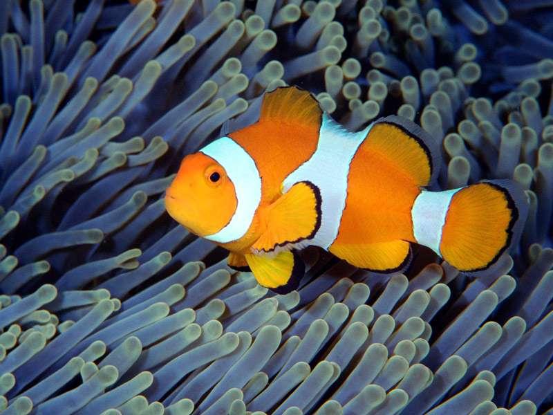 рыба клоун по английски