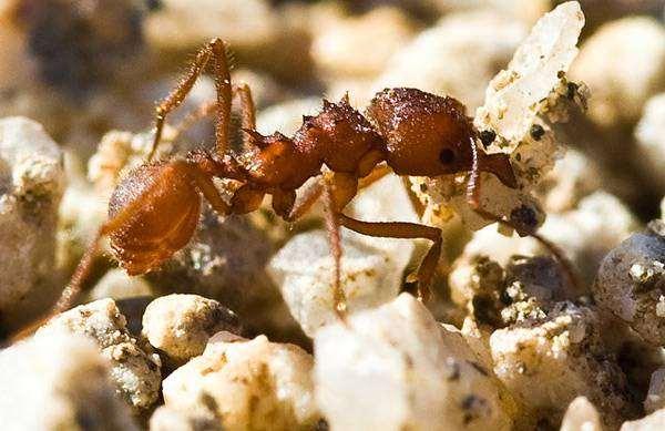Муравей-листорез (Acromyrmex versicolor),  фото новости о животных фотография насекомые