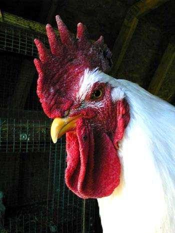 Петух, фото новости о животных фотография птицы
