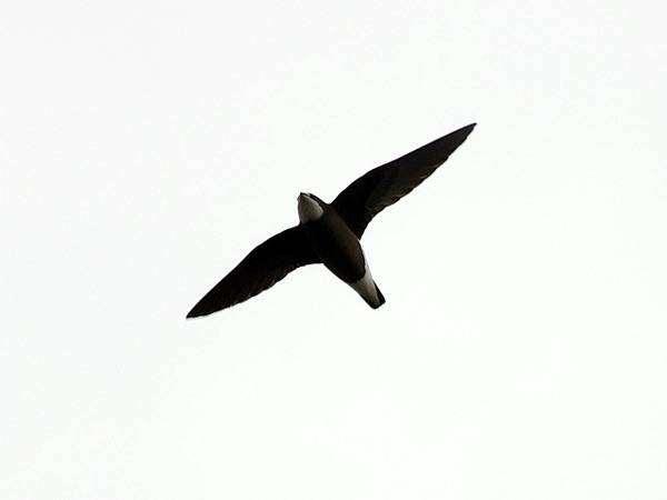 Иглохвостый, или колючехвостый стриж (Hirundapus caudacutus), фото птицы фотография