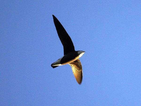 Иглохвостый стриж, колючехвостый стриж (Hirundapus caudacutus), фото длиннокрылые птицы фотография