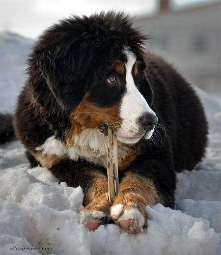 Щенок бернского зенненхунда, фото собаки, фотография породы собак