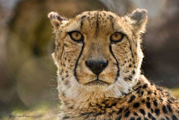 Гепард (Acinonyx jubatus), фото хищники, фотография