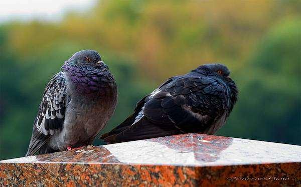 Сизый голубь, или сизарь (Columba livia), фото фотография птицы птички