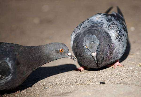 Сизый голубь, или сизарь (Columba livia), фото голуби фотография птицы