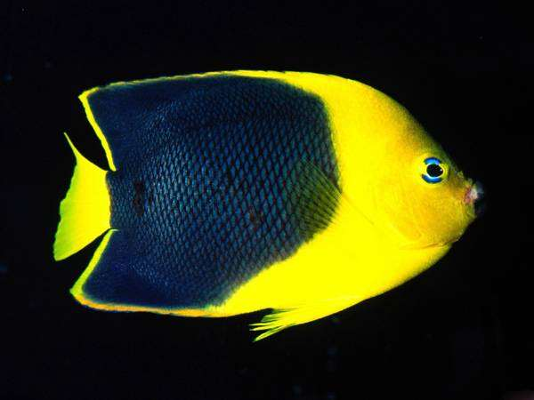 Морская рыбка  - анамния, фото биология фотография