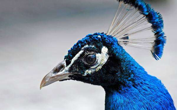 Павлин, гомойотермное (теплокровное животное), фото птицы фотография.