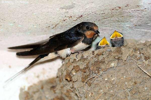 Деревенская ласточка, или касатка (Hirundo rustica), фото птицы фотография