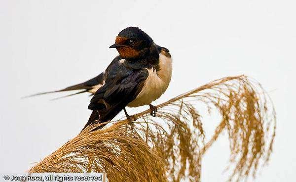 Деревенская ласточка, или касатка (Hirundo rustica), картинка птицы изображение