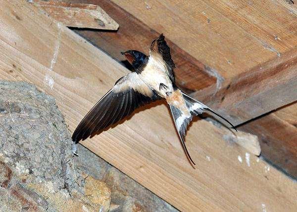 Деревенская ласточка, или касатка (Hirundo rustica), фото воробьиные птицы фотография