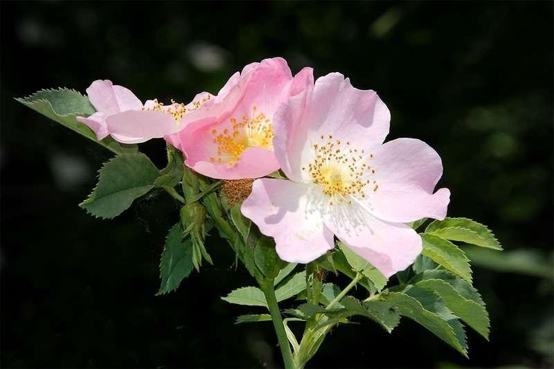 Какое растение называют дикой розой? Почему шиповник называют дикой розой?