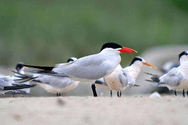 Чеграва (Hydroprogne [Sterna] caspia), фото птицы фотография крачка