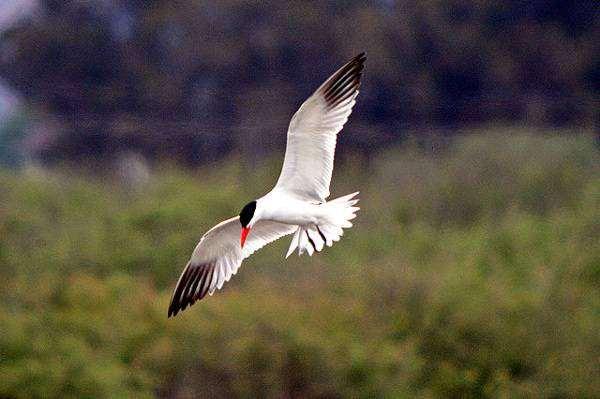Чеграва (Hydroprogne [Sterna] caspia), картинка птицы ржанкообразные изображение
