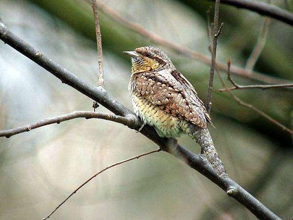 Вертишейка (Jynx torquilla), фото птицы фотография