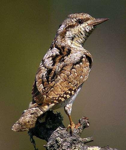 Вертишейка (Jynx torquilla), фото дятлы птицы фотография