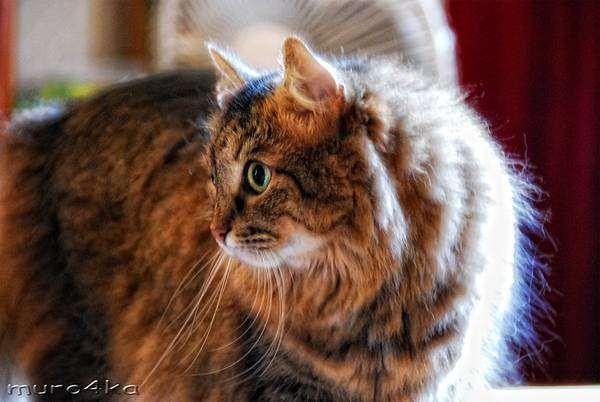 Домашняя кошка, фото кошки фотография