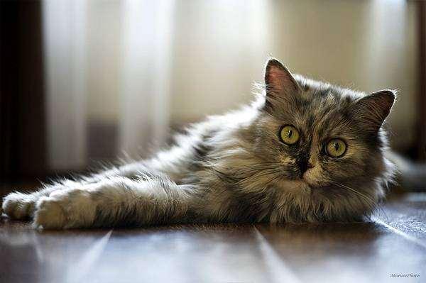 Кошка, лежащая на полу, фото кошки фотография