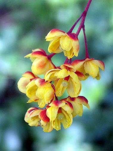 Барбарис обыкновенный барбарис berberis vulgaris  Барбарис обыкновенный berberis vulgaris фото лекарственные растения фотография