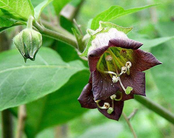 Белладонна (Atropa belladonna), фото лекарственные растения фотография