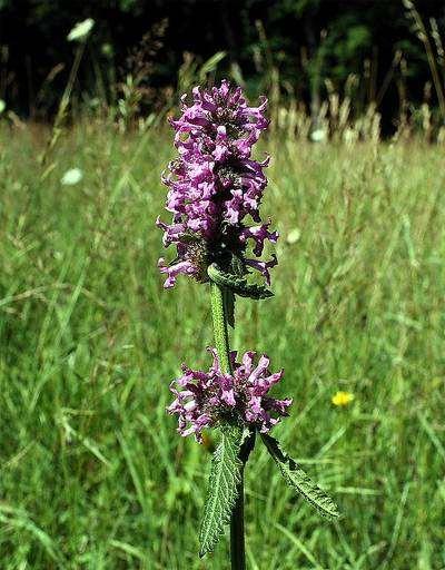 Буквица лекарственная (Betonica officinalis), фото лекарственные растения фотография