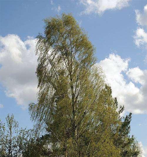Береза бородавчатая, береза повислая (Betula pendula), фото лекарственные растения фотография