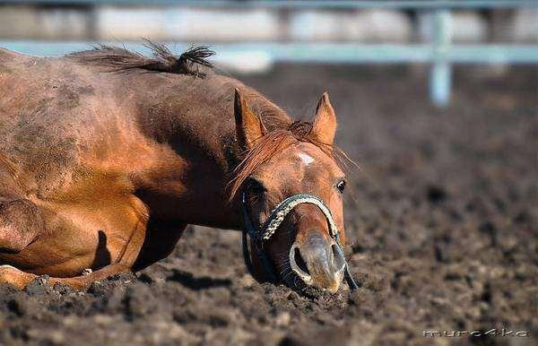 Лошадь, валяющаяся в грязи, фото лошади фотография