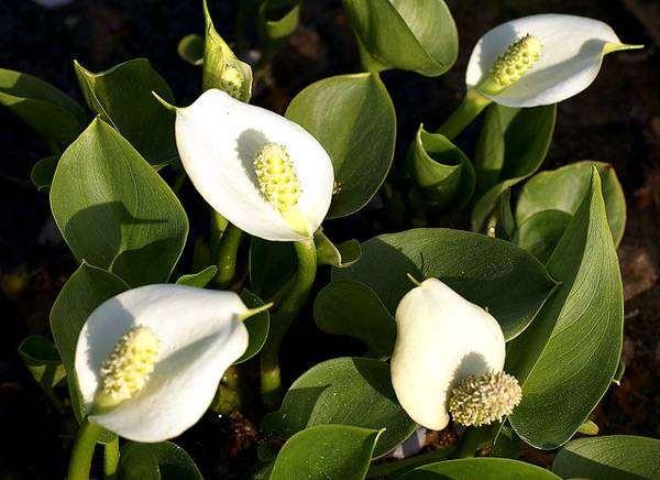 Белокрыльник болотный (Calla palustris), изображение растения картинка