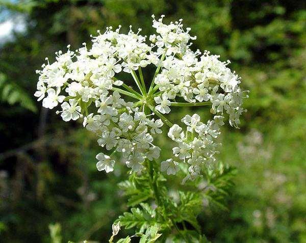 Болиголов пятнистый (Conium maculatum), фото растения фотография