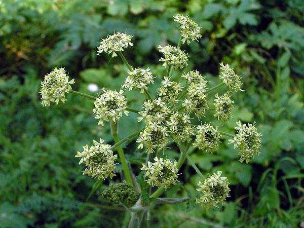 Борщевик сибирский (Heracleum sibiricum), фото растения фотография
