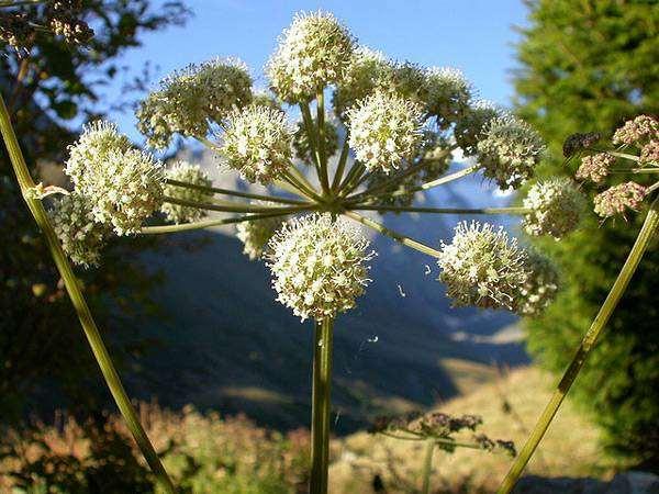 Борщевик сибирский (Heracleum sibiricum), изображение растения картинка