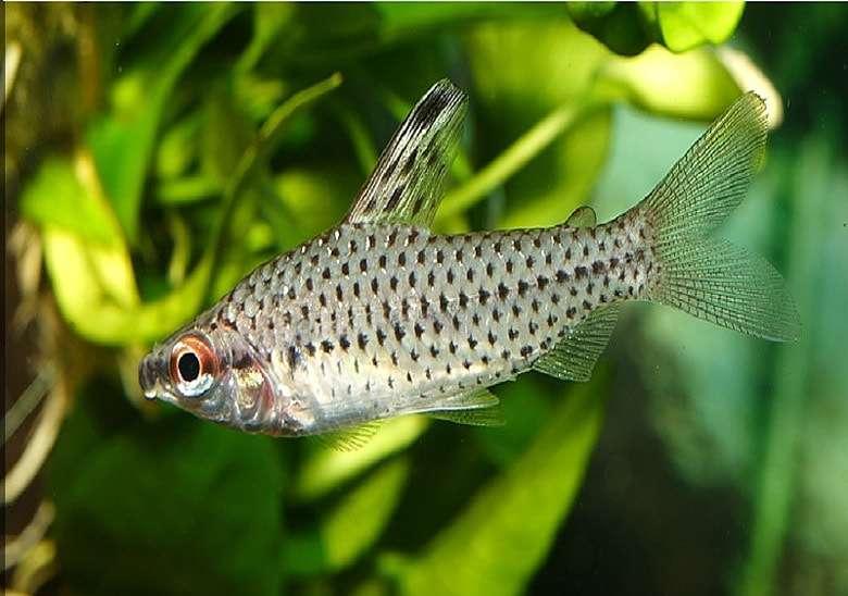 Хилодолус пятнистый, хилодус пунктирный (Chilodus punctatus), фото фотография аквариумные рыбы