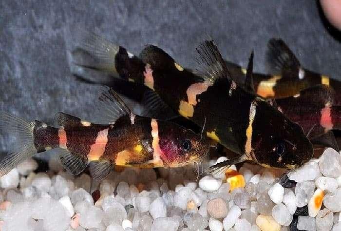 Сиамская косатка pseudomystus siamensis фото ареал среда  Сиамская косатка pseudomystus siamensis фото фотография аквариумные рыбы