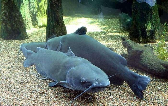 Кошачьи сомы ictaluridae икталуровые ареал среда обитания  Голубой сом ictalurus furcatus фото фотография рыбы