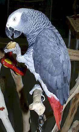 Серый попугай жако (Psittacus erithacus), фото содержание птиц попугаев фотография