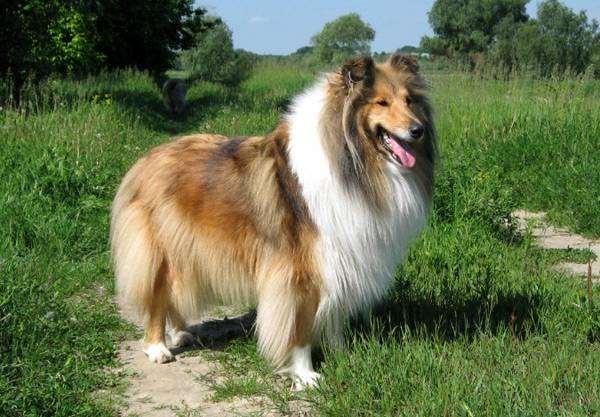 Колли, или шотландская овчарка (Southland Collie), фото породы собак фотография