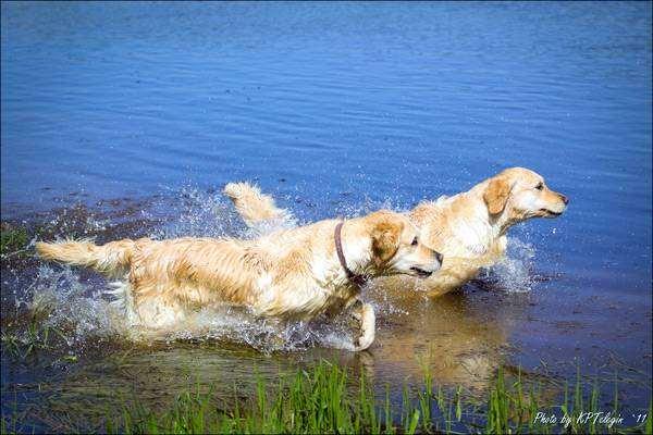 Золотистые ретриверы, голден ретриверы, фото породы собак фотография