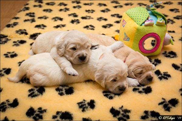 Щенки золотистого ретривера, фото породы собак фотография