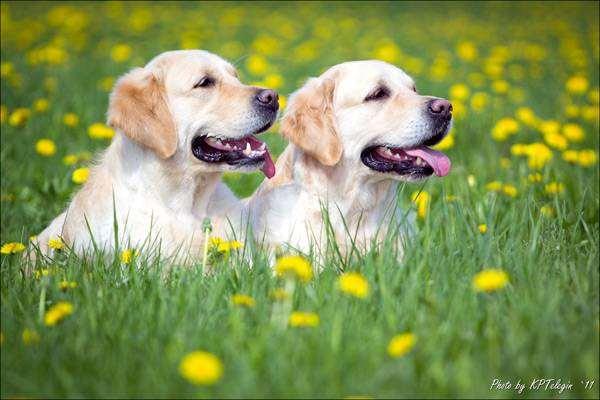 Золотистый ретривер, Голден ретривер, фото породы собак фотография