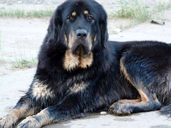 Тибетский мастиф (Tibetan mastiff), фото породы собак фотография изображение