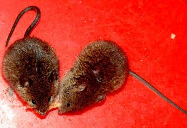 Мыши, мышки, фото содержание грызунов фотография