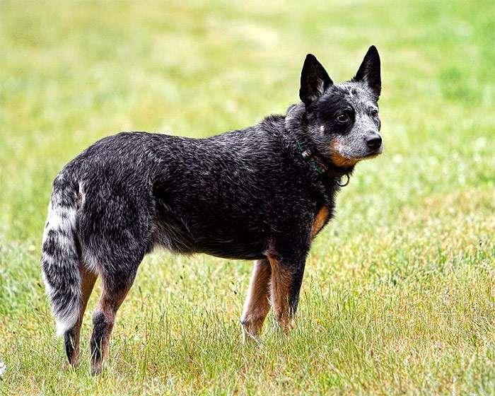 порода пастушьих собак
