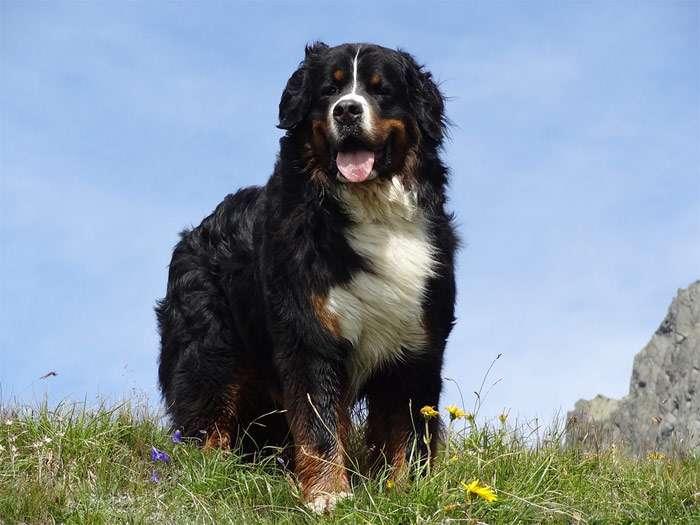 благородные породы собак