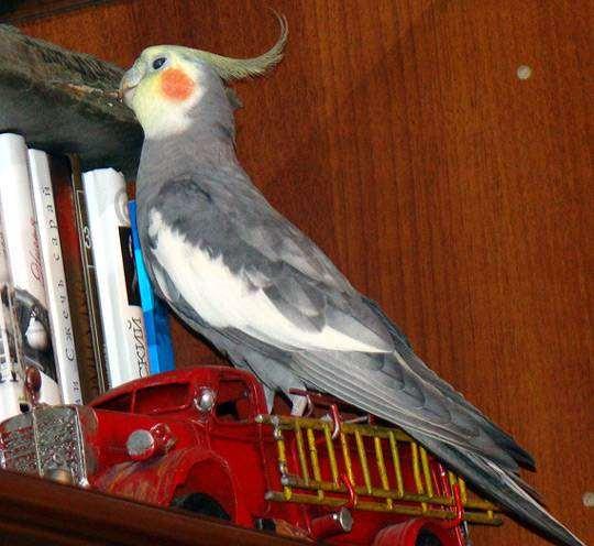 Попугай корелла нимфа, фото уход содержание попугаев фотография